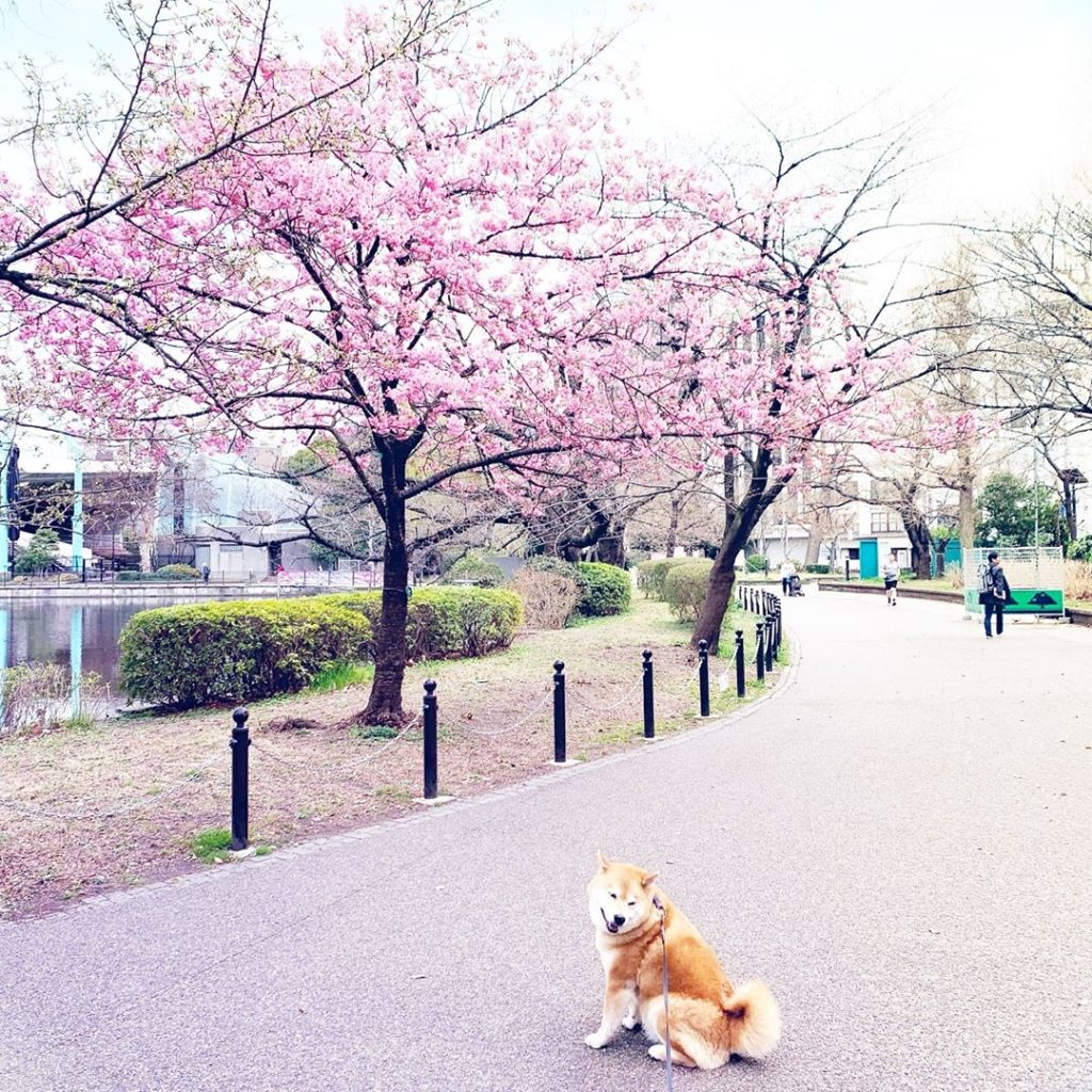 I want you to come to Japan ASAP! Spring has come! 不忍の池のほとりで一番先に咲く桜が開花しました。 #本日を...